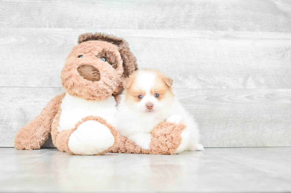 POMERANIAN PUPPY - 9 week old Pomeranian for sale