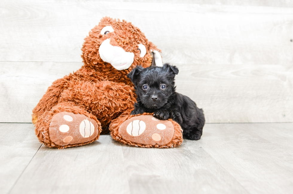 TEACUP YORKIE POO PUPPY - 6 week old Yorkie Poo for sale