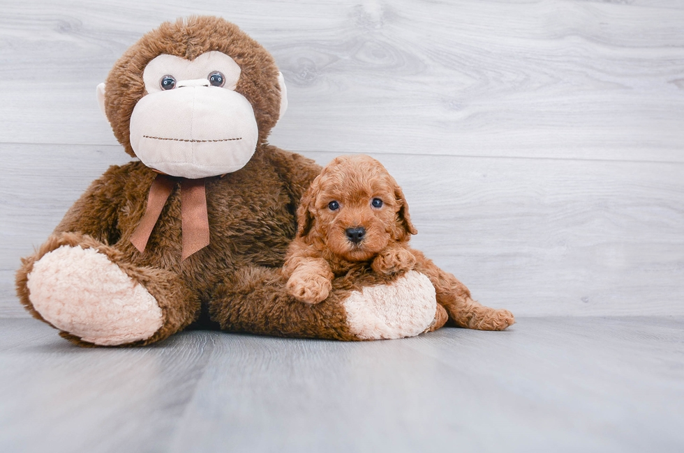 F1B COCKAPOO PUPPY - 6 week old Cockapoo for sale
