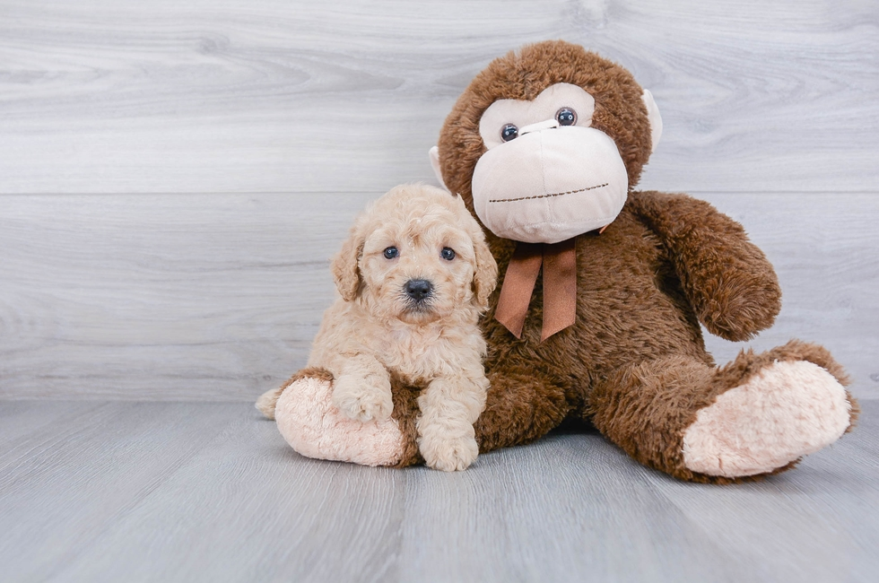 F1B COCKAPOO PUPPY - 5 week old Cockapoo for sale