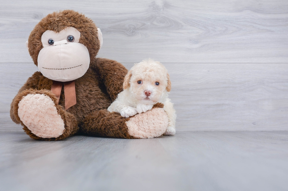 F1B COCKAPOO PUPPY - 7 week old Cockapoo for sale