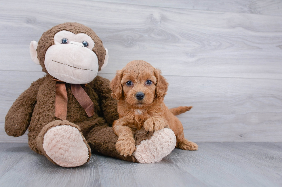 7 week old Cockapoo Puppy For Sale Premier Pups