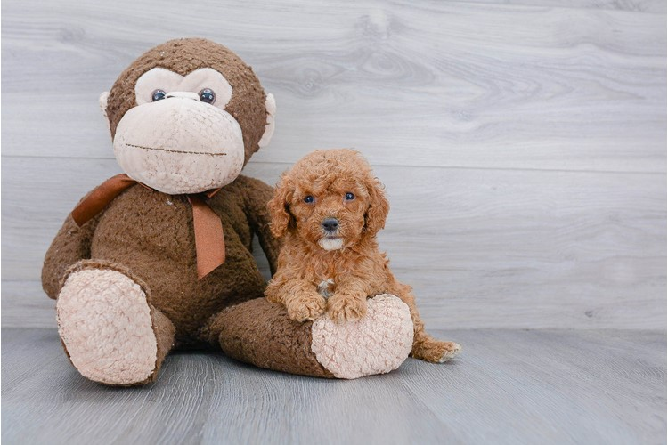 Cockapoo Puppy For Sale Premier Pups