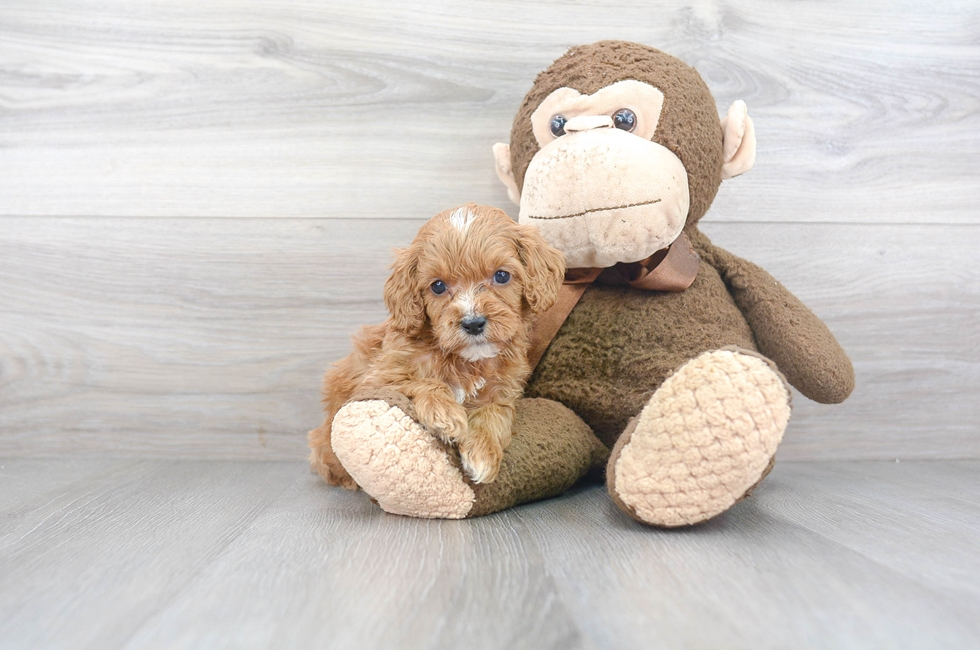 9 week old Cockapoo Puppy For Sale Premier Pups