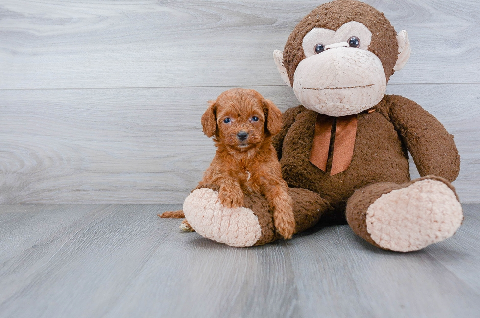 6 week old Cockapoo Puppy For Sale Premier Pups