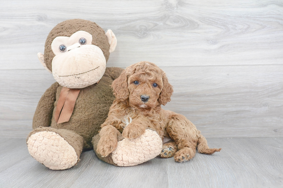 10 week old Cockapoo Puppy For Sale Premier Pups