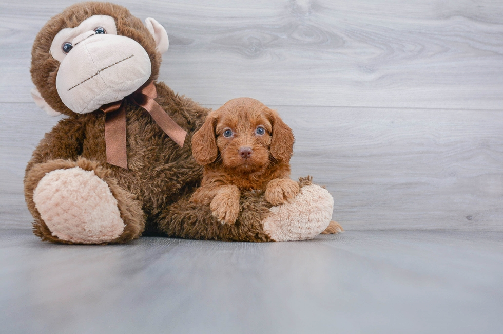 5 week old Cockapoo Puppy For Sale Premier Pups