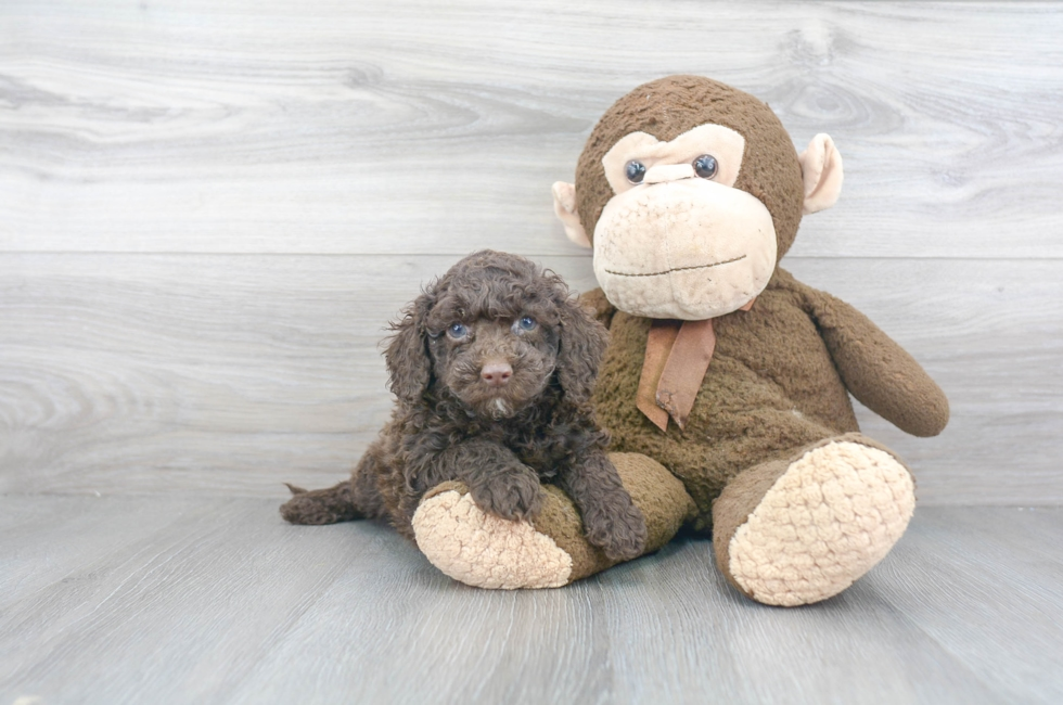 8 week old Cockapoo Puppy For Sale Premier Pups