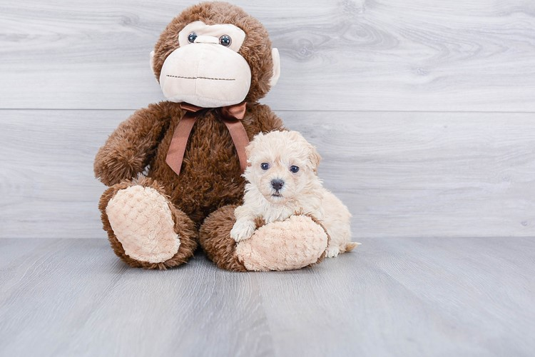 TEACUP MALTI POO PUPPY 1