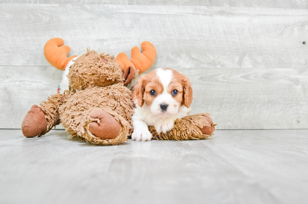 CAVALIER KING CHARLES SPANIEL PUPPY - 6 week old Cavalier King Charles Spaniel for sale