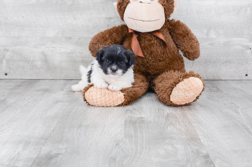 SHIH POO PUPPY - 7 week old Teddy Bear for sale
