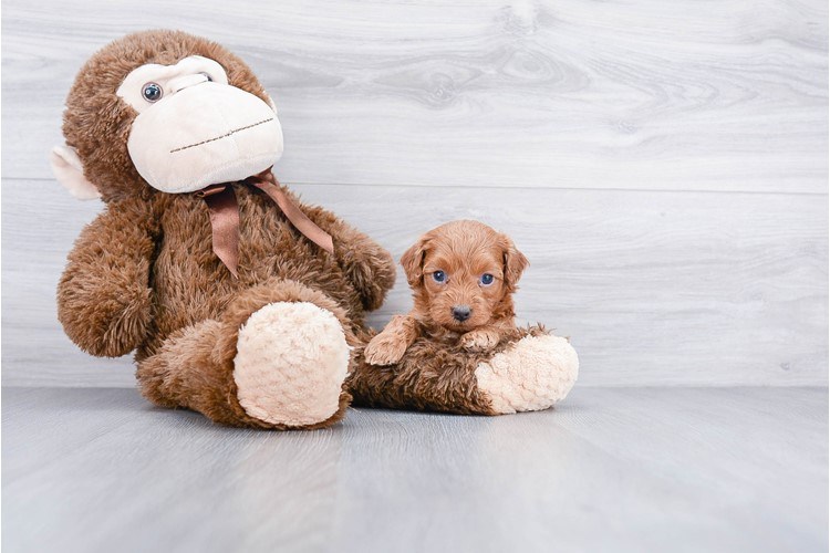 F1B COCKAPOO PUPPY 3
