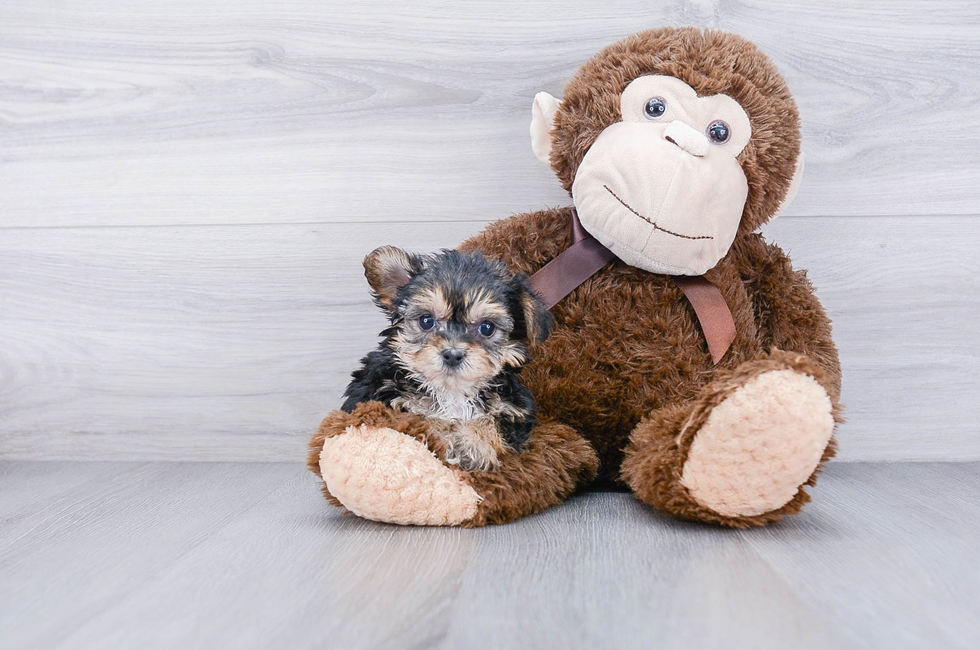 TEACUP YORK CHON PUPPY - 8 week old Morkie for sale