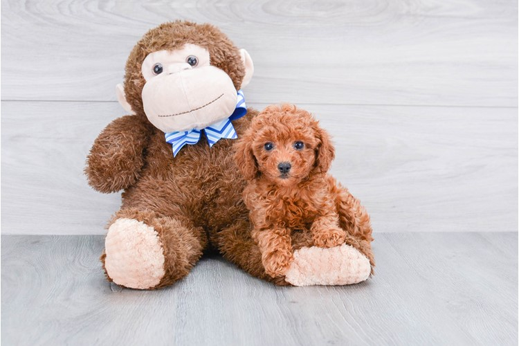 MINI POODLE PUPPY 1