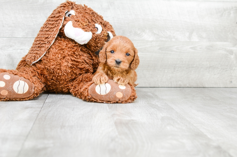 F1B MINI GOLDENDOODLE PUPPY - 11 week old Mini Goldendoodle for sale