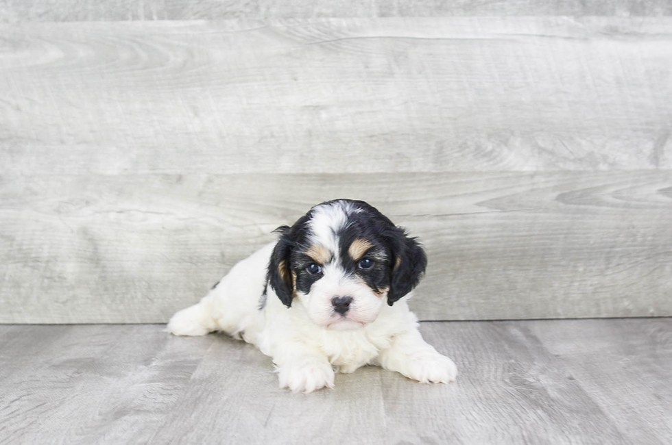 CAVA CHON PUPPY - 6 week old Cava Chon for sale