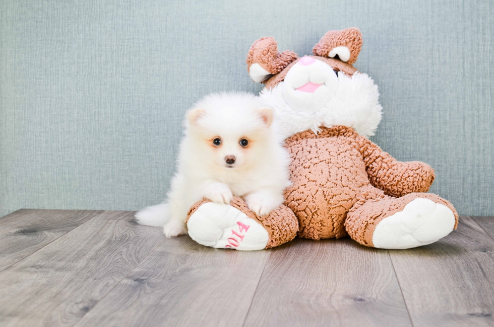 TEACUP POMERANIAN PUPPY - 9 week old Pomeranian