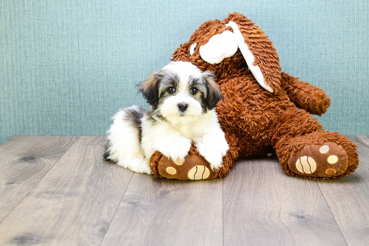 Hansel Our Havanese Puppy For Sale In Ohio