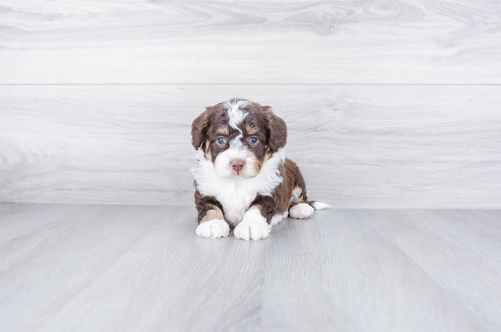 F1B PETITE BERNEDOODLE PUPPY - 8 week old Mini Bernedoodle for sale