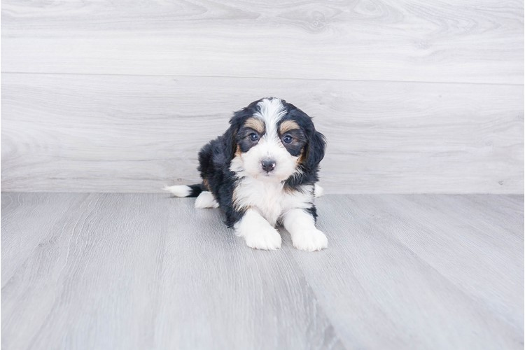 F1 MINI BERNEDOODLE PUPPY 2