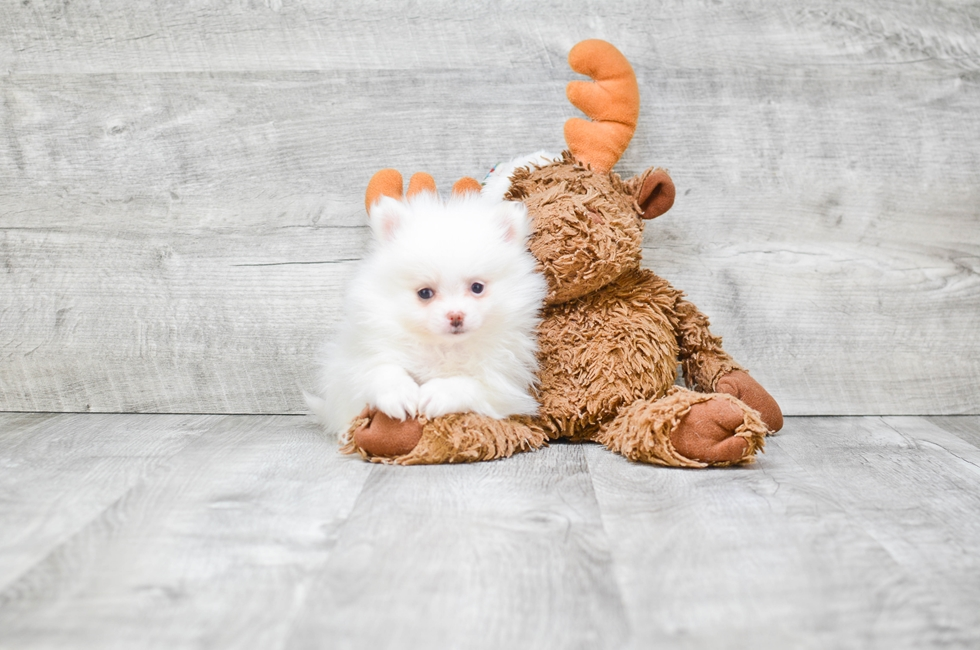 TEACUP POMERANIAN PUPPY - 8 week old Pomeranian for sale