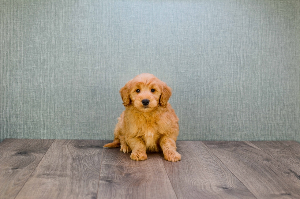MINI GOLDENDOODLE PUPPY - 58 week old Mini Goldendoodle