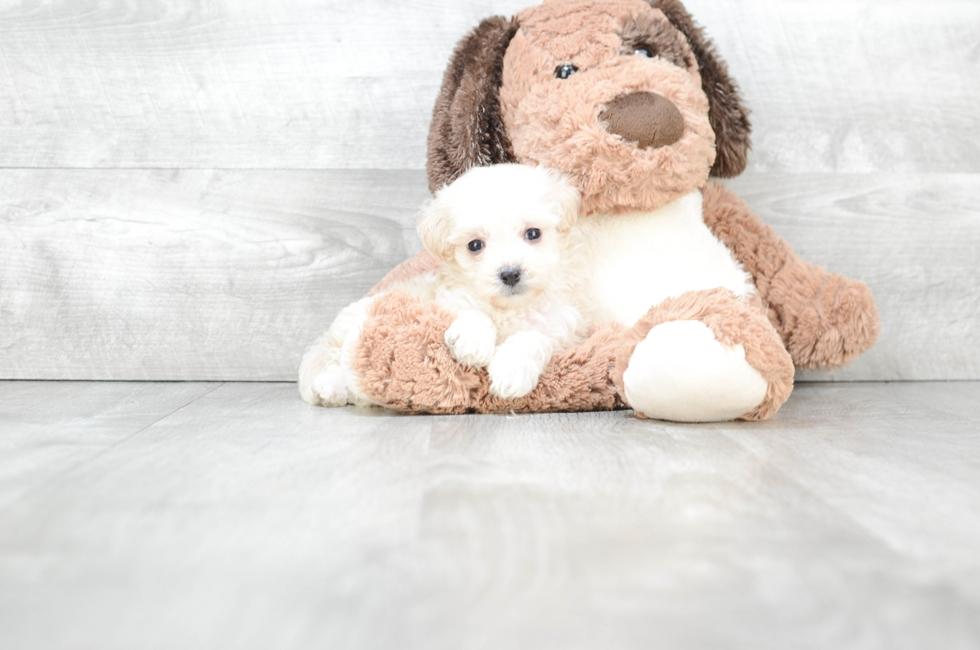 TEACUP MALTI POO PUPPY - 8 week old Malti Poo for sale