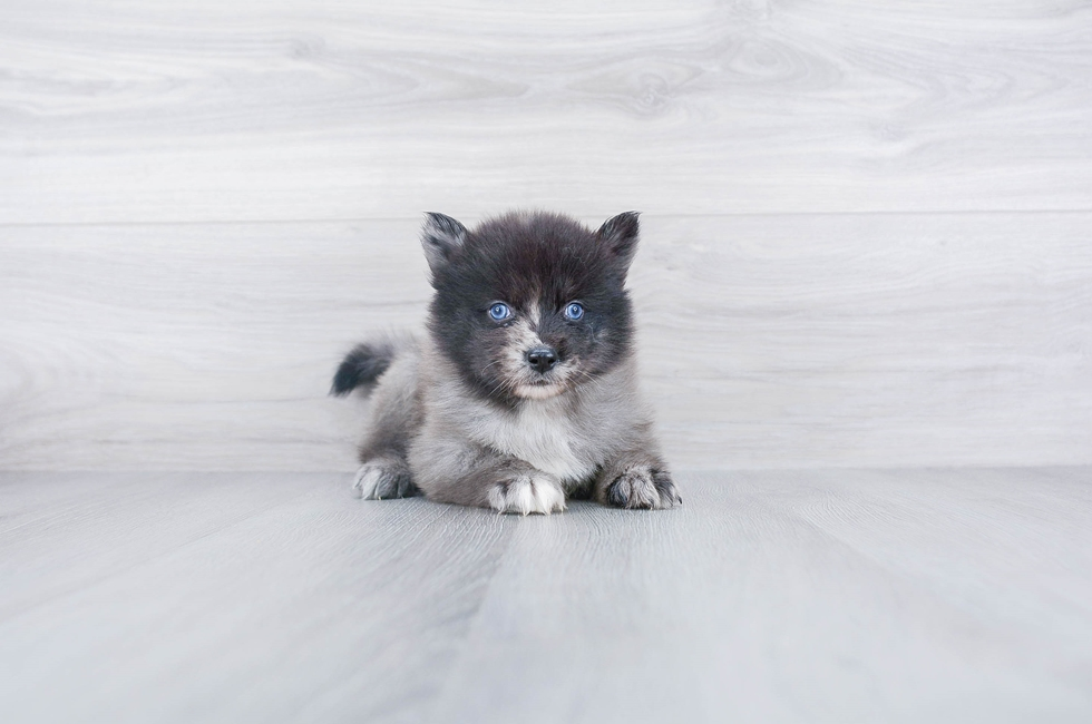 F1 POMSKY PUPPY - 7 week old Pomsky for sale