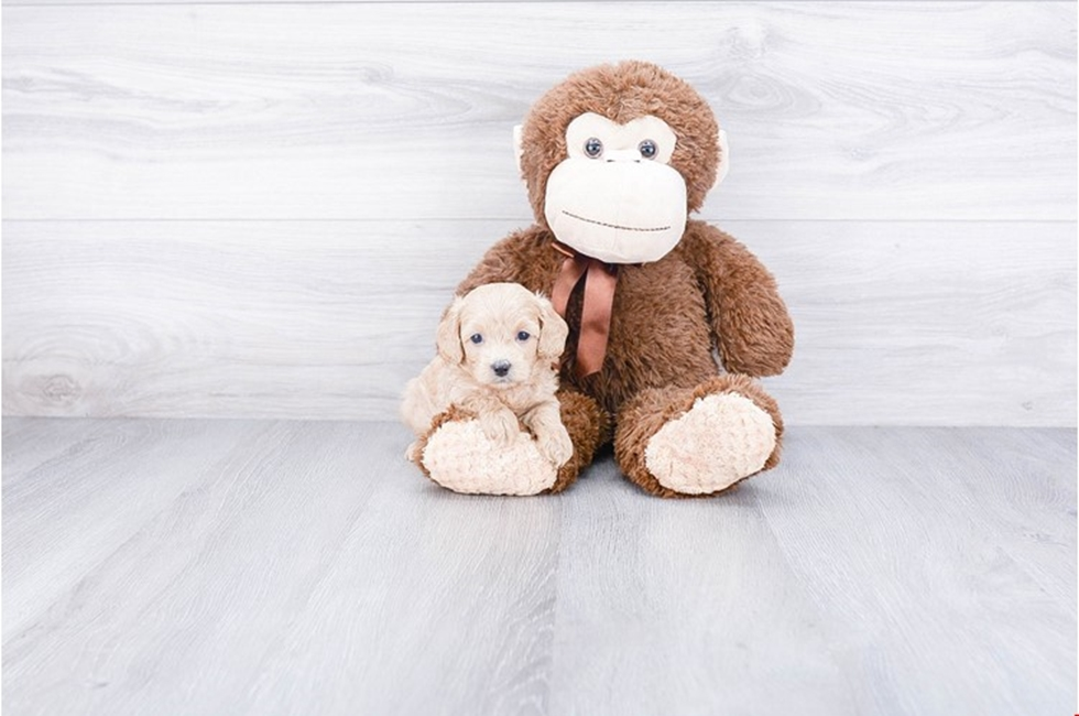 Cavapoo Puppies for Sale – US Shipping | Premierpups com