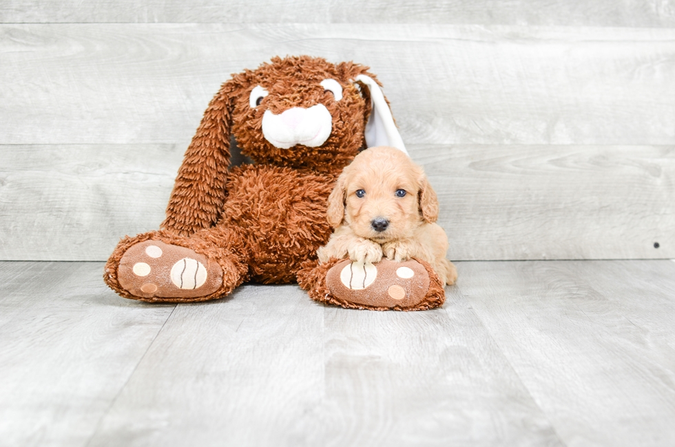 F1B MINI GOLDENDOODLE PUPPY - 5 week old Mini Goldendoodle for sale