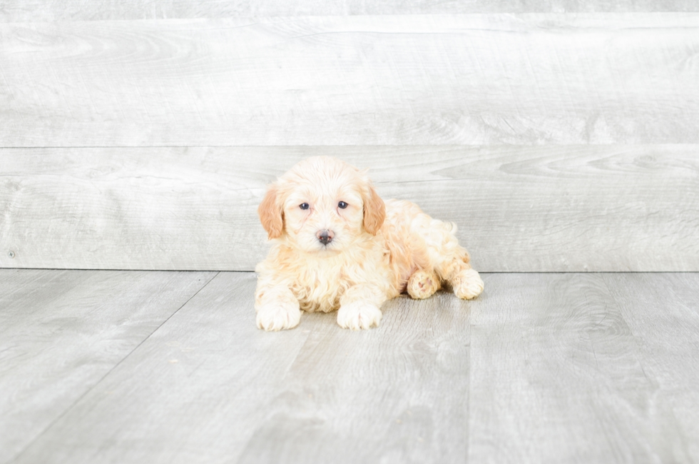 SHIH POO PUPPY - 6 week old Teddy Bear for sale