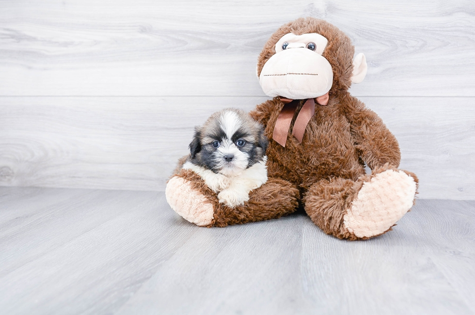 SHIH TZU PUPPY - 8 week old Teddy Bear for sale
