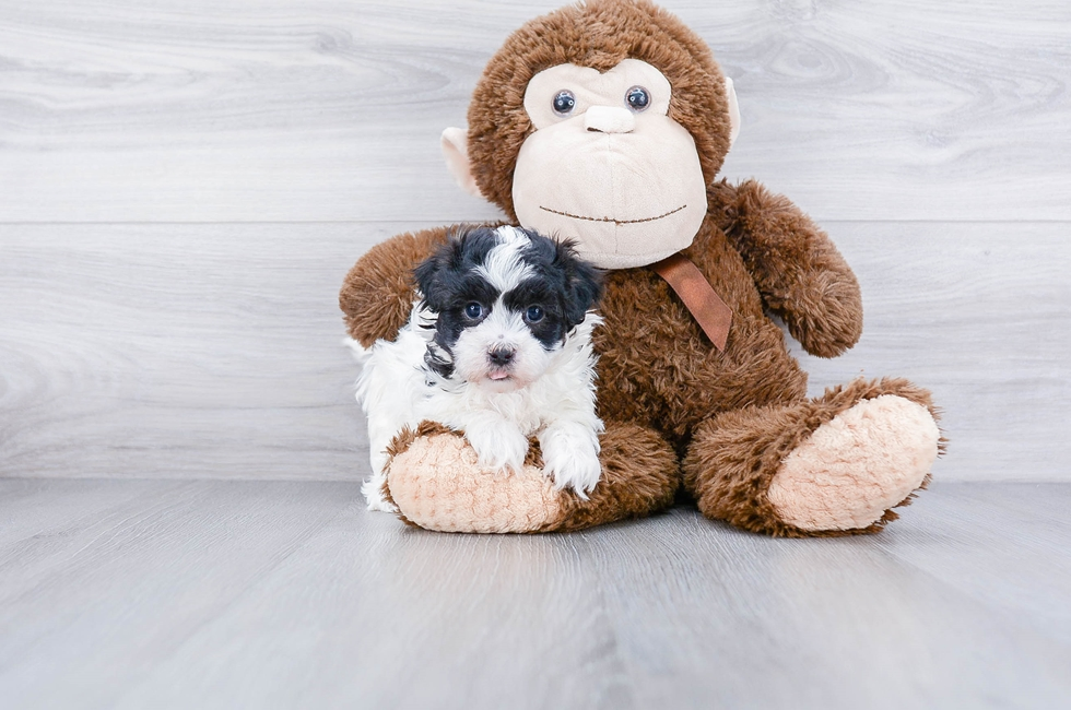 TEACUP MALTI POO PUPPY - 7 week old Malti Poo for sale