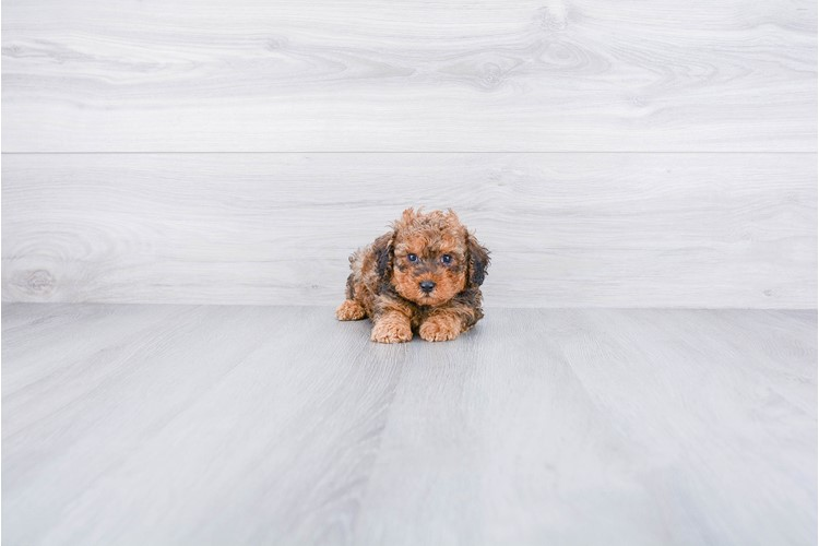 TOY POODLE PUPPY 3