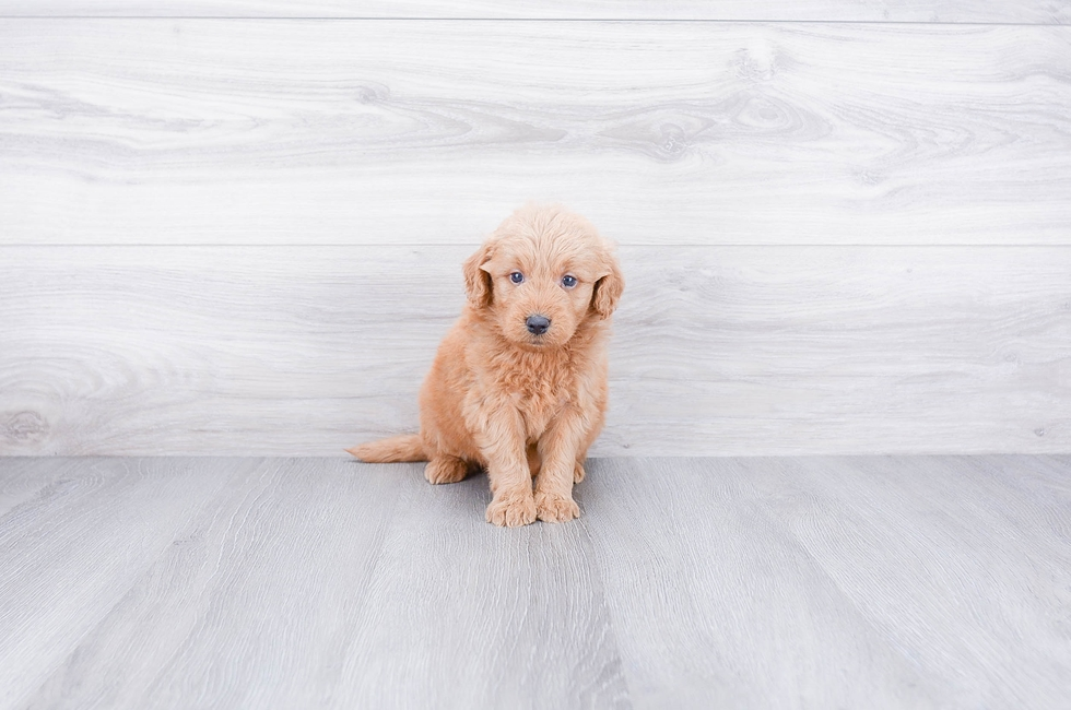 F1 MINI GOLDENDOODLE PUPPY - 8 week old Mini Goldendoodle for sale