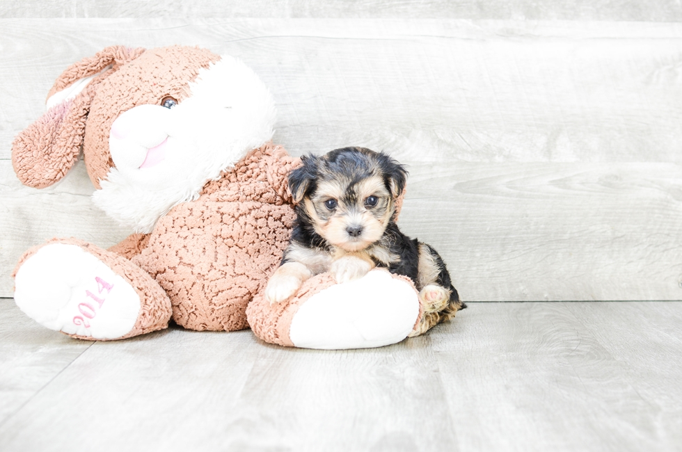 TEACUP MORKIE PUPPY - 7 week old Morkie for sale
