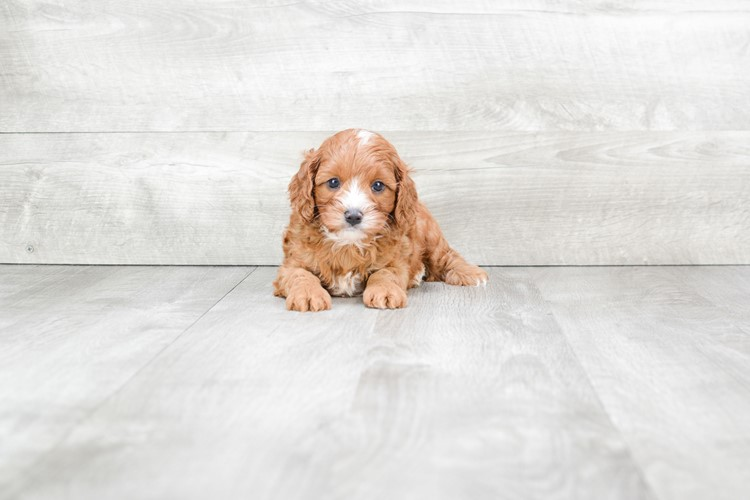 JERRY Cavapoo Puppies for Sale | Cavoodle Puppies - US Shipping Puppy