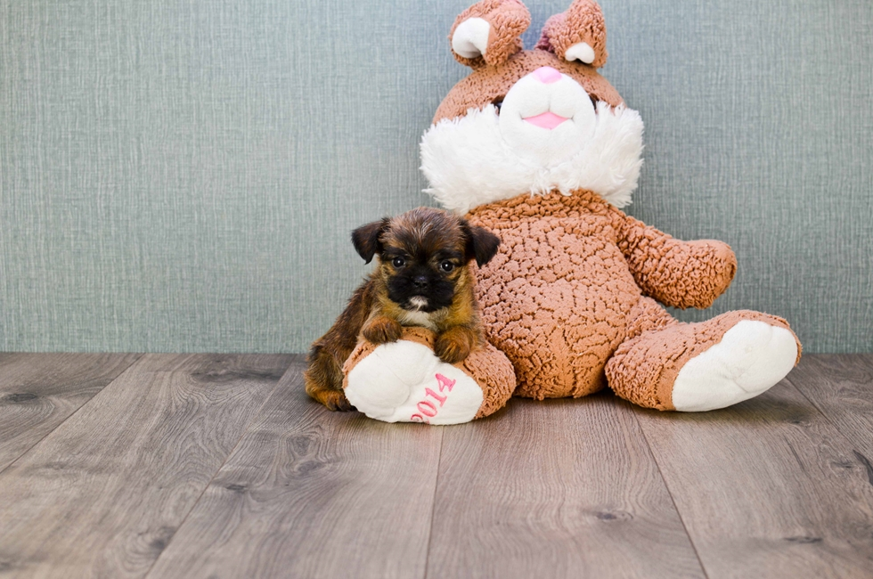 BRUSSELS GRIFFON PUPPY!!!! - 61 week old Brussels Griffon