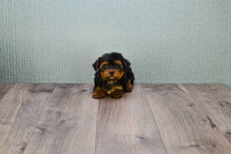 TEACUP YORKIE PUPPY 2