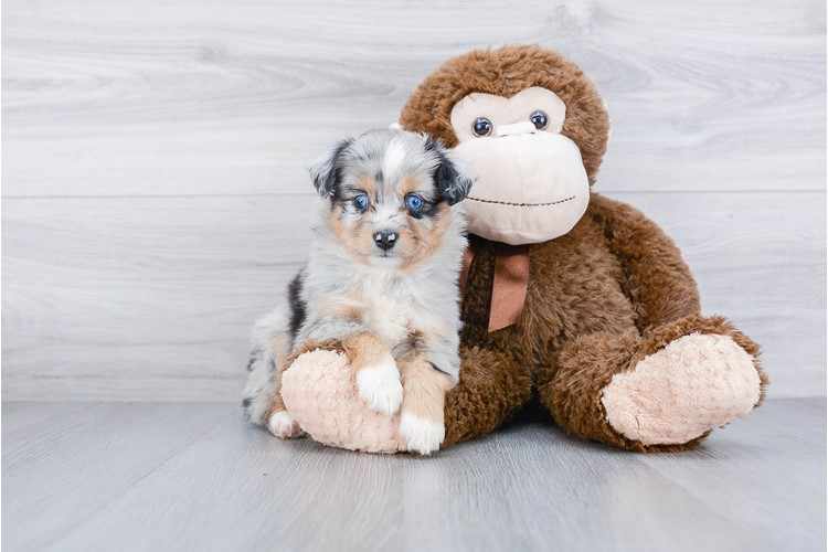MINI AUSTRALIAN SHEPHERD PUPPY 1