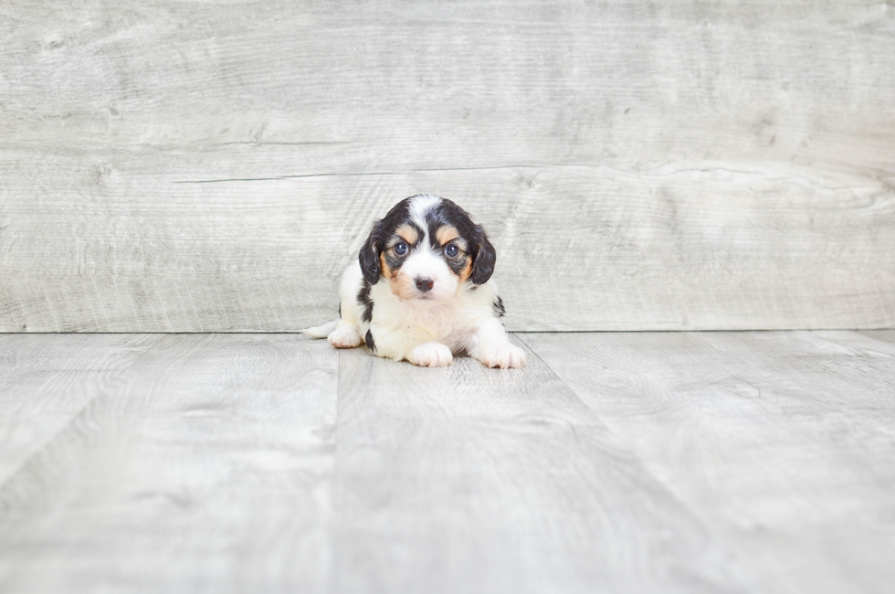 CAVA CHON PUPPY - 8 week old Cava Chon for sale