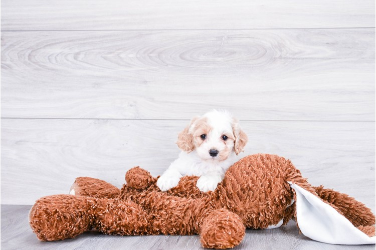F1B COCKAPOO PUPPY