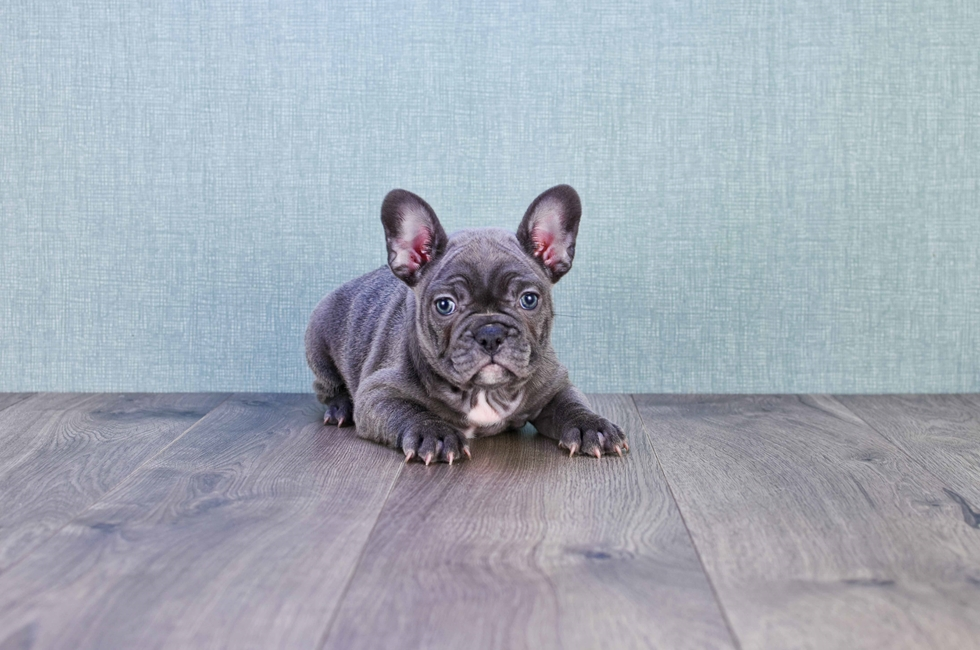 FRENCH BULLDOG PUPPY (LOCAL PICK-UP OR REGIONAL DELIVERY) - 11 week old French Bulldog for sale