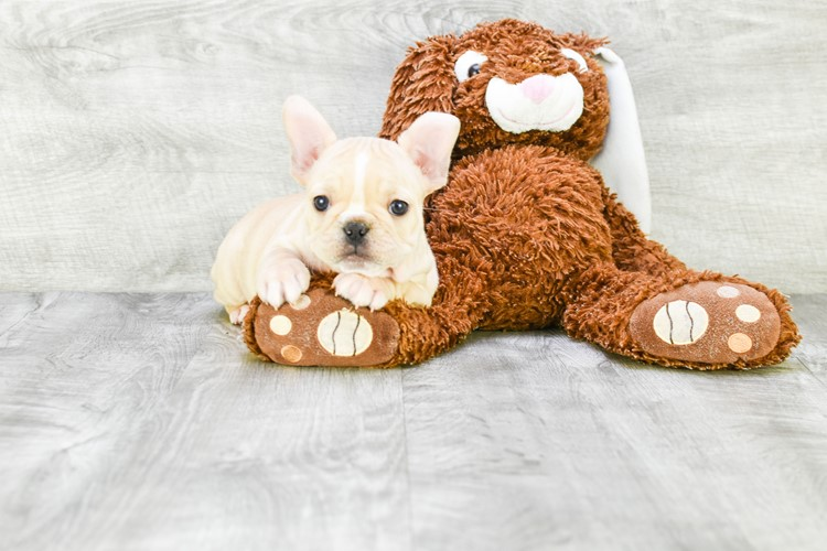 FRENCH BULLDOG PUPPY 3