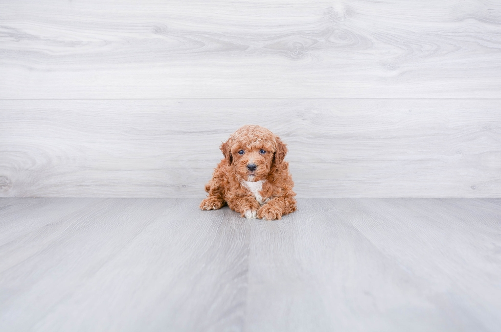 POODLE PUPPY - 8 week old Poodle for sale
