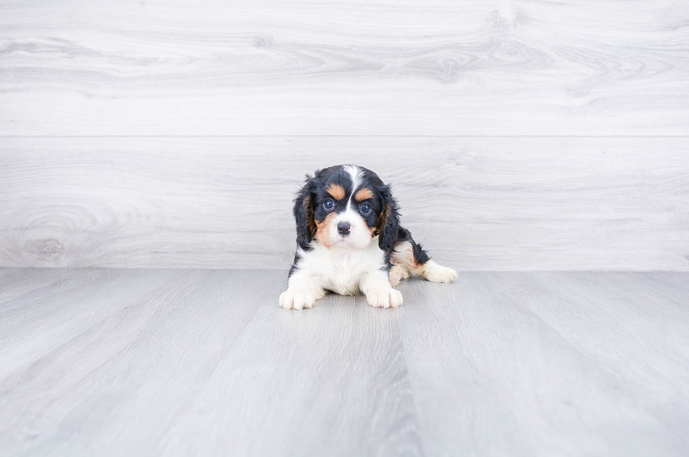 CAVALIER PUPPY - 9 week old Cavalier King Charles Spaniel for sale