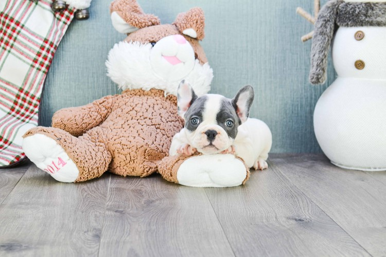 French Bulldog Puppy For Sale Premier Pups