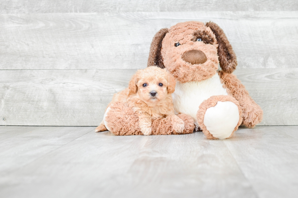 MALTI POO PUPPY - 6 week old Malti Poo for sale