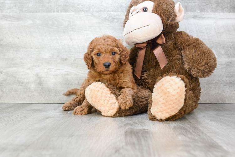 F1B MINI GOLDENDOODLE PUPPY 2