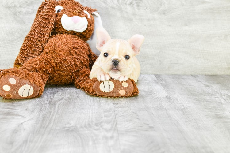 FRENCH BULLDOG PUPPY 1